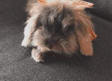 مطلوب ارنب هولندي بيتوتي راس نمر ذو فرو بني غامق