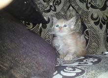 قطه شيرازيه العمر شهرين