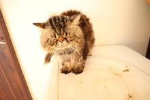 peke face male persian cat