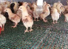 دجاج فرنسي للبيع الحبه ب 700