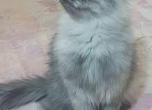 قطه شيرازي مون فيس للبيع