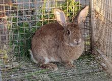 ارنب هولندي ذكر
