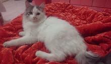 قطة شيراز أمريكي للبيع