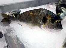 سمك (الوراطة)  مربى من تونس جودة ممتازة