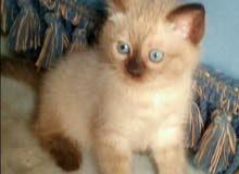 siamese chocolate kitten