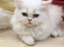 قطة شيرازي سكوتش مكس