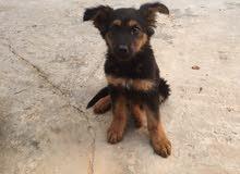 جرو كلب كستم  الماني عمر شهرين ونص