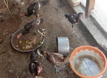 سلام عليكم دجاج هندي ماعرف ديج من دجاجه لعدد 7