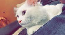 زوج قطط فحل ونثية شيرازيات العمر 6 اشهر
