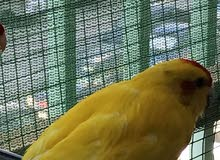 parakeet male for sale