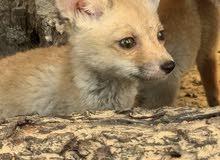 red fox  رد فوكس (الثعلب الاحمر)