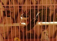 للبيع عصافير بادجي وعصافير زيبرا