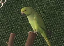 للبيع طيور درة ذكر العدد 2 وحشيات