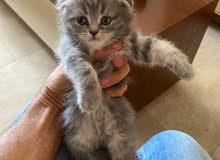 pure Scottish fold new born kitten ready for sale