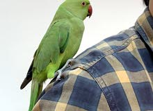 indian parrot male