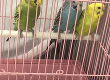 طيور البادجي او الحب اناث و ذكر