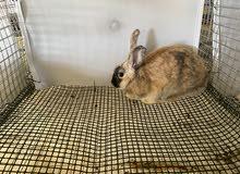 أرانب اوروبيه حجم كبير للبيع
