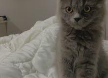 قطه شيرازيه للبيع - kitten for sale