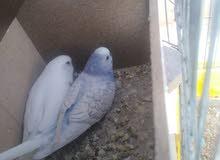 طيور حب للبيع او للبدل