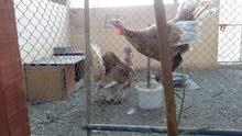 دجاج رومي العمر سنه بصحة جيدة 100% ذكر وانثى
