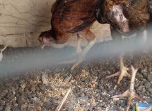 دجاج باكستانيات سندي للبيع بصحه جيده