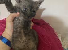 قطه شيرازي كيتن بسعر رمزي
