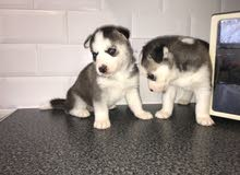 Lovely chunky husky puppies