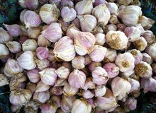 ثوم عماني جوده عاليه