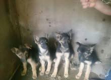 كلاب الميلانوغاية فى القوة والشراسة