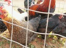 دجاج عربي يدحي ماشاء الله