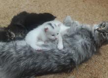 قطط شيرازي شانشيلا للبيع