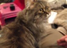 قطه شيرازي للليع
