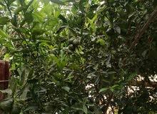 يتوفر شتلات شخاخ طول مترين  الكميه محدوده