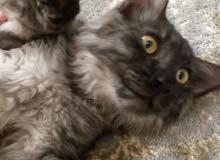 قطط للبيع النوع شرازي