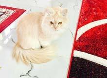 قطه شيرازيه للبيع مستعجل