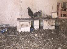 طيور حجل باكستاني بالجمله 6 حبات....( ثلاث اناث وثلاث ذكور)