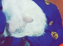 قط فارسي العمر سنة ونص للبيع