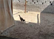 دجاج باكستاني للبيع او للبدل مع اغنام