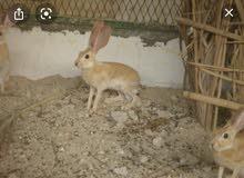 مطلوب: ارانب بريه عمانيه