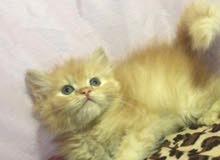 قطه صغيره للبيع مع الاغراض شيرازي بيور