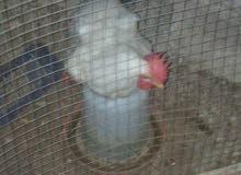 دجاج بلدي