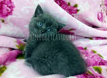 Scottish fold and pure breed british short hair  by german breeder