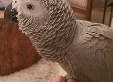 casco african grey .. congo big size