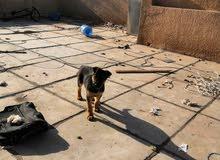 كلب يمتلك نشاط وحيوية صحته ممتازة لدية دفتر صحي عمرة ثلاثة اشهر