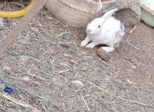 ارانب عمانية لزوج فقط