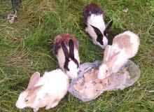 أربعة أرانب