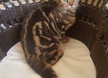 قطط بنغال بيور ذكور واناث بأسعار تبدأ من 550 التواصل واتساب