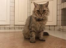 قطة أنثى شيرازي للبيع ب300