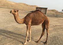 للبيع ناجه عمانية أصيل مع بكرة عمانية أصيل