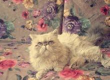 قط هملايا بلو لتزاوج